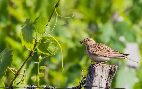 Oiseaux de nos fermes et de nos vignobles